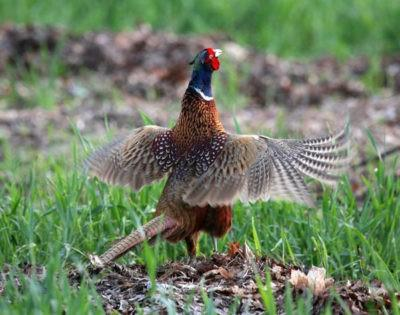 фазан в траве