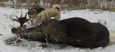 Собаки возле лося
