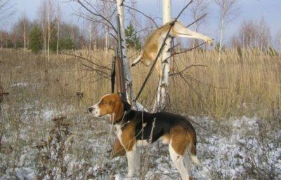 Охота на зайца с гончими: секреты охоты с собаками