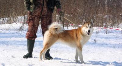 Лайка с охотником