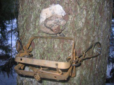 Капкан на дереве