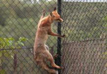Как поймать лису