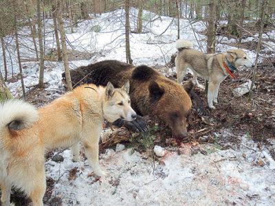 Собаки лайки и медведь