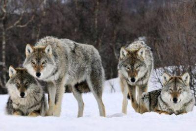 Фото волчьей стаи