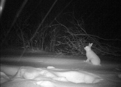 Заяц ночью